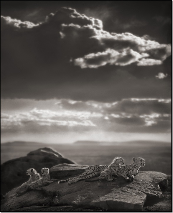 Cheetah and Cubs Lying on Rock, by Nick Brandt.