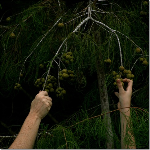 Cypress Harvest – Reaching Out (2008), by Allison Parssi.